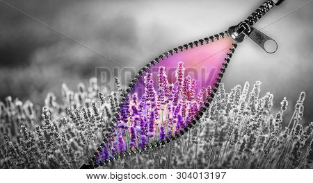Unzip a way to colorful, positive world. Lavender flowers. Hope and new life. Zipper, fastener composite