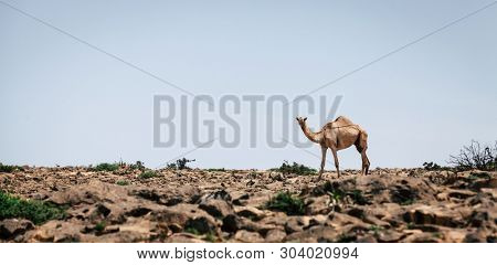 A lone camel on Jebel Samhan plateau near Salalah in Oman