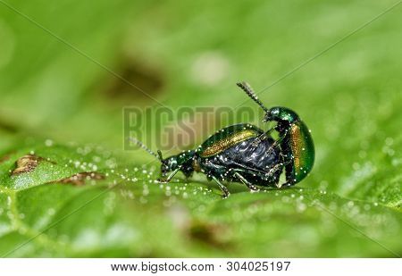 A Small Beetle Sits On A Leaf Of The Plant.it Is The Macrocosm Of Nature.latin Name Of The Beetle -