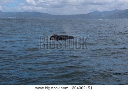 Fin Of A Southern Right Whale In The Bay Of Hermanus In The Indian Ocean, South Africa