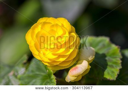 Begonia Plant With Green Leaves And Yellow Flowers