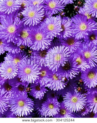 Background Of Purple Iceplant Flowers Closeup Outdoors