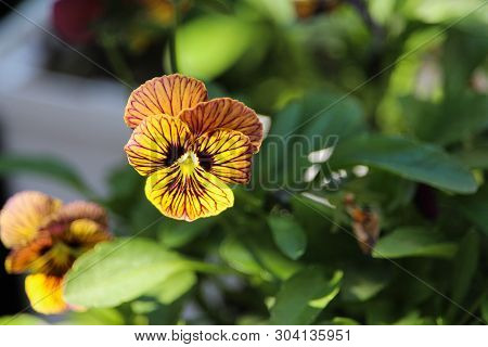 Colourful Veined Spring Pansy Flower Variety Showy