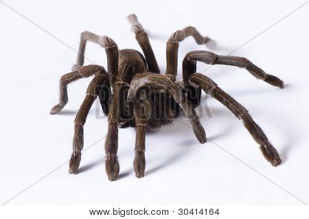 Hairy Australian Tarantula on a white background