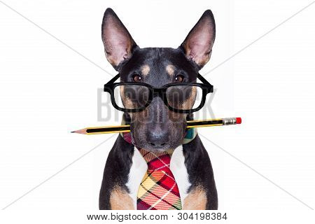 Bull Terrier Dog Tie Going To Work As Office Worker Boss With Nerd Reading Glasses , Isolated On Whi