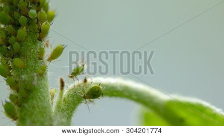 Aphid, A Pest, On An Apple Tree Branch. The Insect Feeds On The Plants Juices, Destroying The Leaves