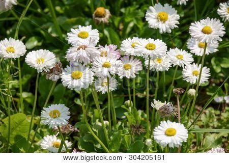 Chamomile Flowers. Camomile, Daisy Wheel, Daisy Chain, Chamomel.