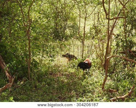 A Sri Lankan Junglefowl Gallus Lafayettii Forages On A Jungle Path Deep In Sinharaja Forest Reserve.