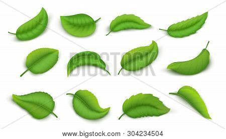 Realistic Leaves. Green Spring Plant Leaves Isolated On White, 3d Nature Elements Vivid Green Tea Le