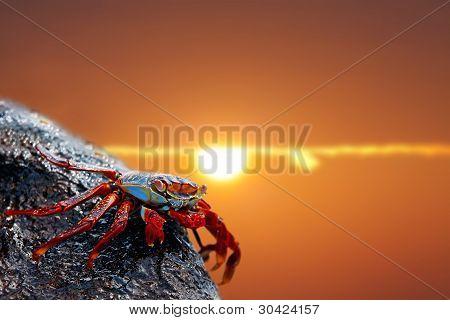 Sally lightfoot crab on Galapagos