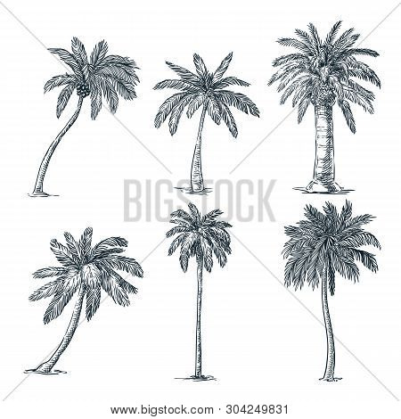 Tropical Coconut Palm Trees Set, Isolated On White Background. Vector Sketch Illustration. Hand Draw