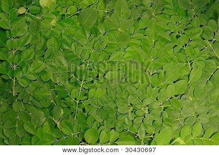 moringa leaves stack
