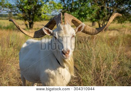 Portrait Of White Goat With Abnormally Enormous Horns Standing On A Summer Pasture