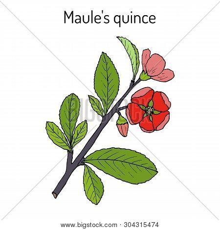 Maule Quince, Chaenomeles Japonica, Medicinal Plant. Hand Drawn Botanical Vector Illustration
