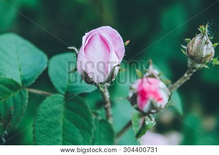 Blooming Bud Of A Pink Rose. Flower Closeup