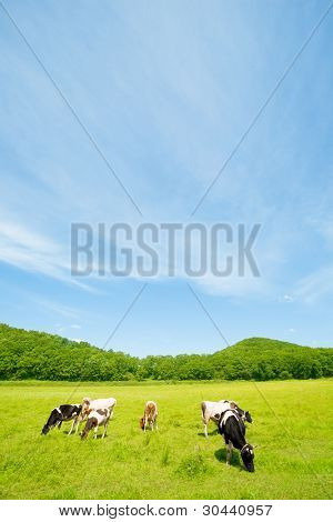 Cows on a pasture.Summer.