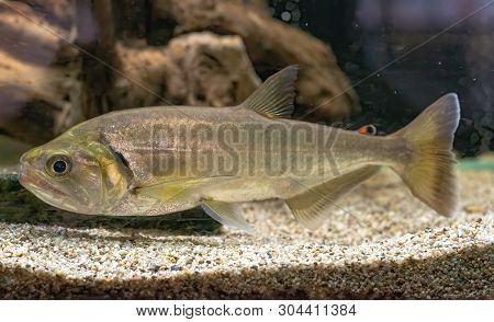 The Vampire Fish (Hydrolicus armatus), also known as the Payara, is a ferocious predator found in fast flowing freshwater habitats in South America poster