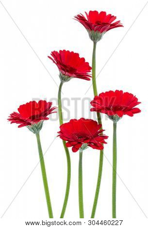 Vertical red gerbera flowers with long stem isolated on white background. Spring bouquet.