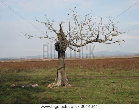 Old Tree In Lonjsko Polje