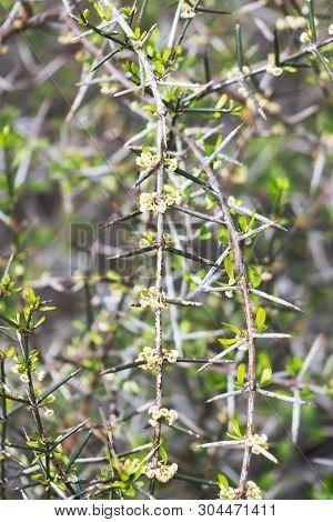 Discaria Toumatou, Commonly Called Matagouri Or Wild Irishman, Is A Tangle-branched Thorny Plant End
