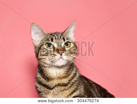 Portrait Of A Black And Brown Tabby Cat Looking Up To Viewers Left With Calm Inquisitive Curious Exp