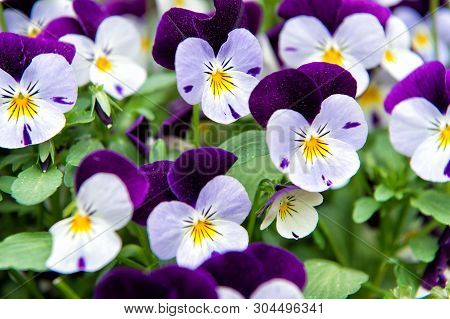 Heartsease Viola Flower. Viola Genus Of Flowering Plants In Violet Family Violaceae. Beautiful Gorge