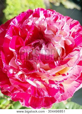 Pink and white double colored rose flower