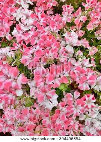 Pink and white double coloured geranium flowers