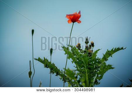 Red Poppy On The Blue Smooth Background.