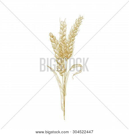 Bunch Of Wheat Ears Or Sheaf Of Spikelets Hand Drawn With Contour Lines On White Background. Cultiva