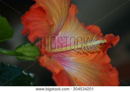 Image Of The Pink Trumpet Flower Of Datura Showing The Anther And Stamens Of The Blossom