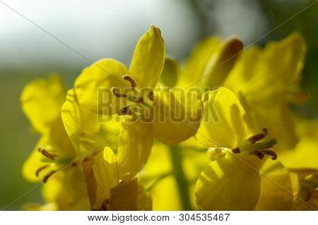 Close Up Of Rape Seed Flowers