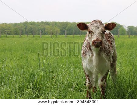 Single Isolated Newborn Mottled Roan Calf Standing In The Tall Grass Looking At Camera