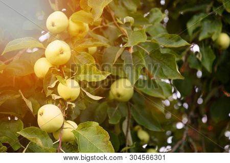 Branches Of An Apple Tree With Fruits Of Apples White Pouring, Close-up, Sun Glare, Foliage