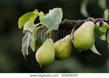 Bunch Of Pears On A Branch Close-up With Sunlight, Tasty, Juicy, With Dew