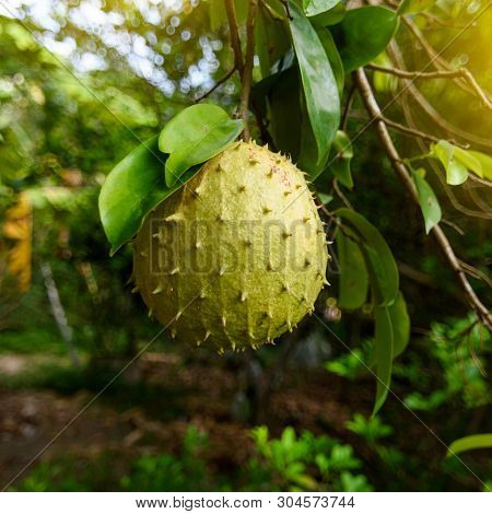 Soursop Or Prickly Custard Apple Is The Fruit Of Annona Muricata.it Is Native To The Tropical Region