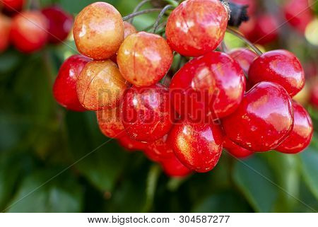 Cherry With Leaf And Stalk. Cherries With Leaves And Stalks. Big Variety Of Cherries. Varieties: Fri