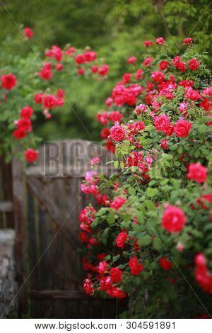 Beautiful Red Rose Bush Abundant Blooming In Summer Garden In Contryside, Blurred Tilt-shift Shot,