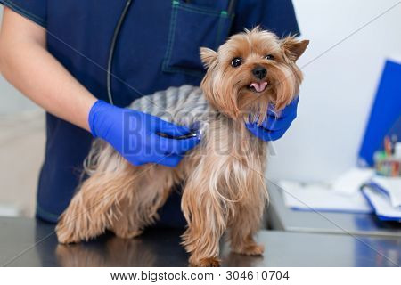 Professional Vet Doctor Examines A Small Dog Breed Yorkshire Terrier Using A Stethoscope. A Young Ma