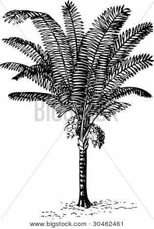 Plant arenga pinnata