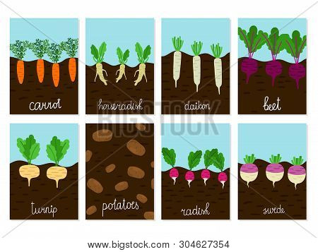 Roots Vegetables Garden Growing Vector Of Cards. Illustration Of Carrot And Horseradish, Daikon And