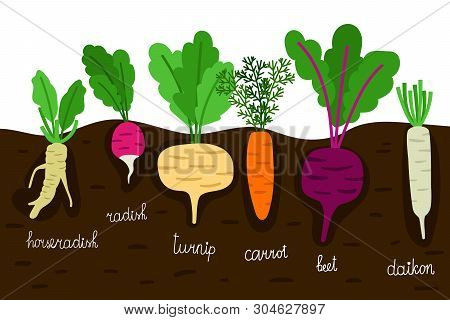 Vegetables Garden Growing. Vegetable Gardening With Roots In Ground Vector Illustration. Horseradish