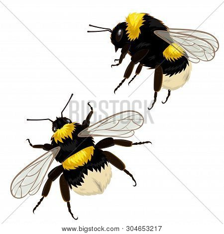 Vector Illustration. Set Of Two Bumblebees Isolated On A White Background In Different Angles.