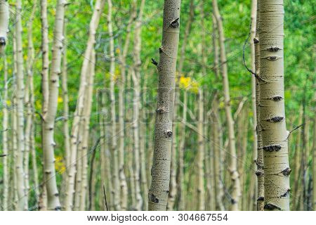 Thick Forest Of Aspen Trees Tall Skinny Healthy Trees Breath In Carbon And Create Biodiversity. Natu