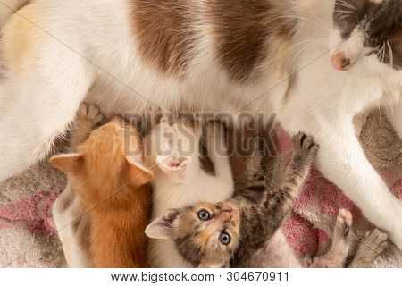 Three Thai Kittens Eat Milk From The Mother Cat