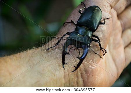 Macro Image Of Big Stag Beetle On My Hand (lucanus Cervus) Is One Of The Biggest Beetles In Europe.