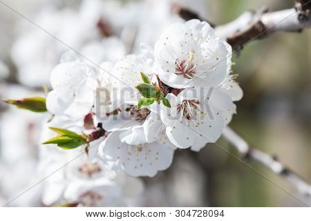 Bright Beautiful Spring Lowers Of Apricot Close Up On Sky Background