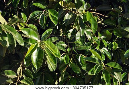 Rubber Fig's Big Smooth Green Leaf, Ficus Benjamina, Ficus