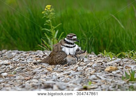 Killdeer Or Charadrius Vociferus On Nest With Young On A Cloudy Cold Day. It Is A Large Plover Found