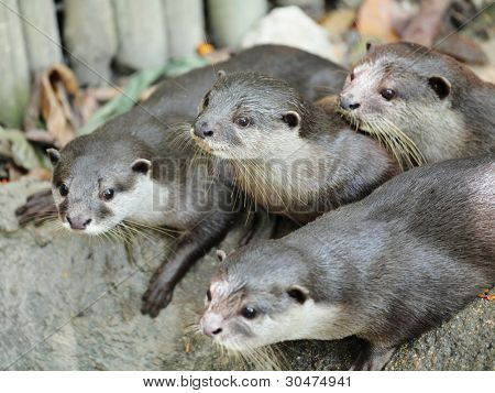Oriental Short-Clawed Otters poster